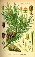 pinosilvestre