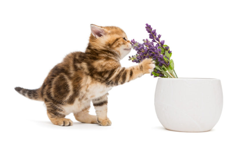 Kitten and a vase with lavender flower
